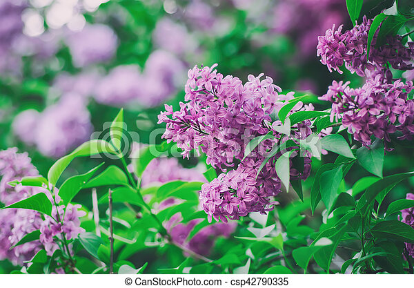 Spring lilac flowers - csp42790335