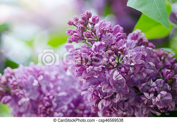 Spring lilac flowers - csp46569538