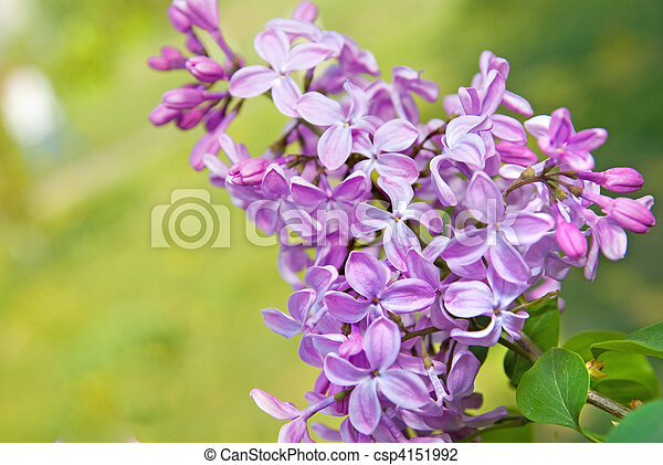 Spring lilac flowers with leaves - csp4151992