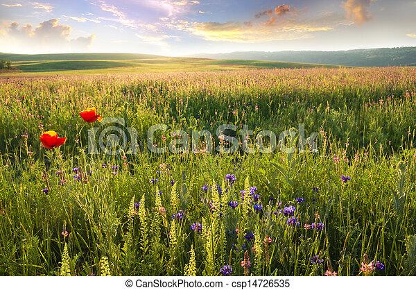 Spring meadow of violet flower. - csp14726535