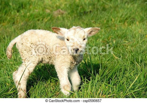 Spring, new born lambs - csp0590657