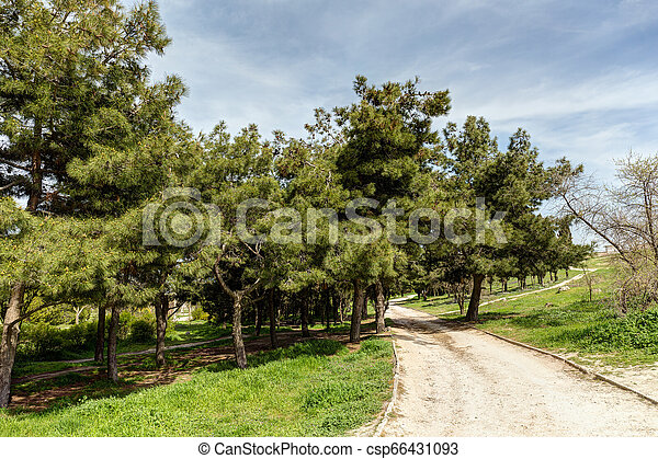 spring park with coniferous trees - csp66431093