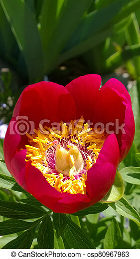 Spring Peony - csp80967963