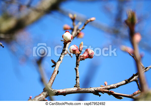 Spring pink blooming branches over white background. Cherry blossom, copy space. young buds of apricot in Spring Garden on a sunny day - csp67952492