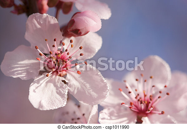 Spring Pink Tree Blossoms - csp1011990