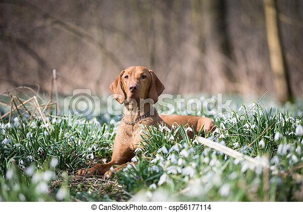 Spring portrait of hungarian vizsla dog in snowdrops field - csp56177114