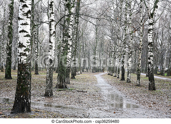 Spring rain in the evening birch grove - csp36259480