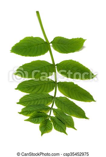 Spring rowan leaves on white - csp35452975