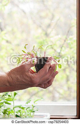 Spring seedlings in a peat pot in the hands of an elderly woman - csp79254403
