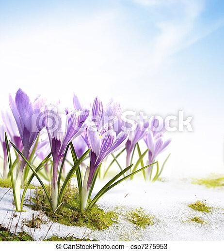 spring snowdrops crocus flowers in - csp7275953