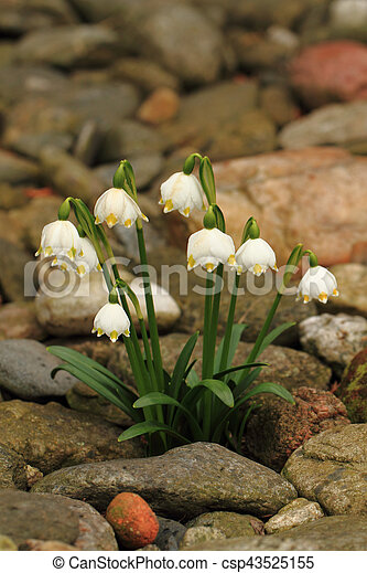 spring snowdrops flowers as nice natural background
