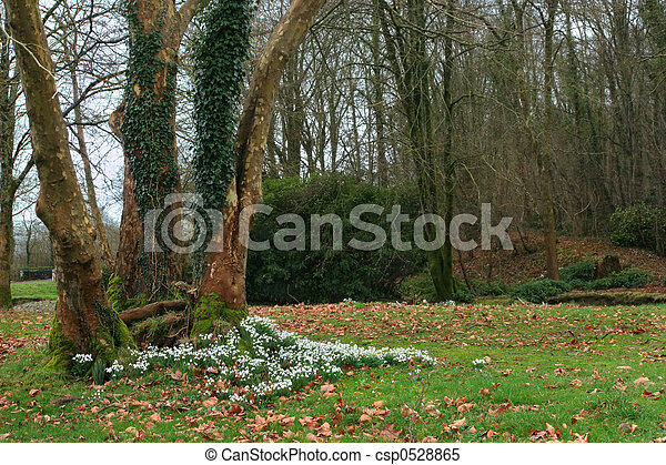 Spring Snowdrops - csp0528865