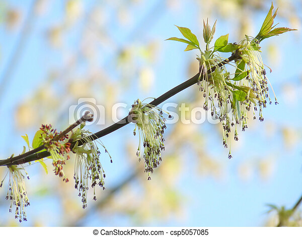 Spring sprig of maple on the background of a beautiful blue sky - csp5057085