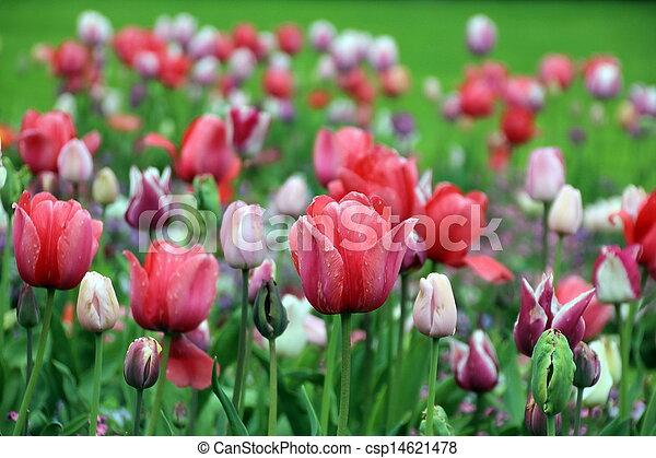 Spring tulip flowers - csp14621478