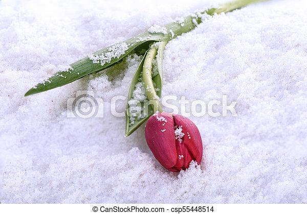 Spring tulip lies on the snow - csp55448514