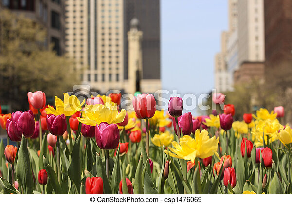 Spring tulips in Chicago - csp1476069