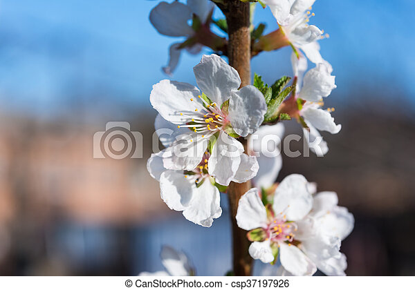 spring white blossom cherry tree flowers - csp37197926