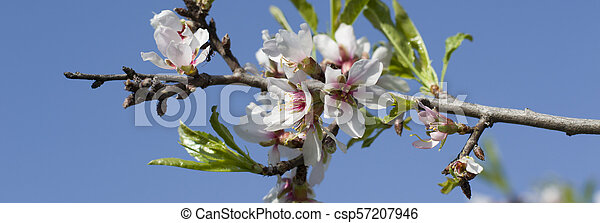 Spring white flowers on a tree against the blue sky. Panoramic spring cherry blossoms flowers. - csp57207946