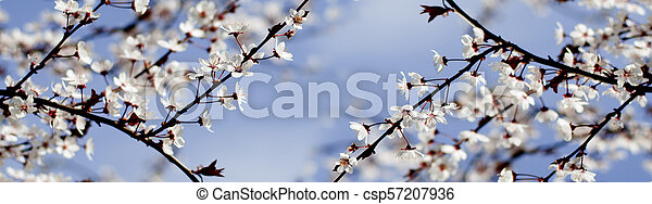 Spring white flowers on a tree against the blue sky. Panoramic spring cherry blossoms flowers. - csp57207936