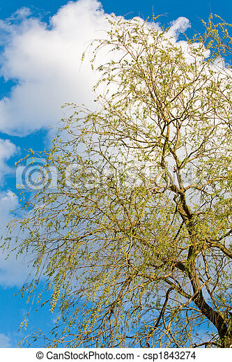Spring willow tree on sky background - csp1843274