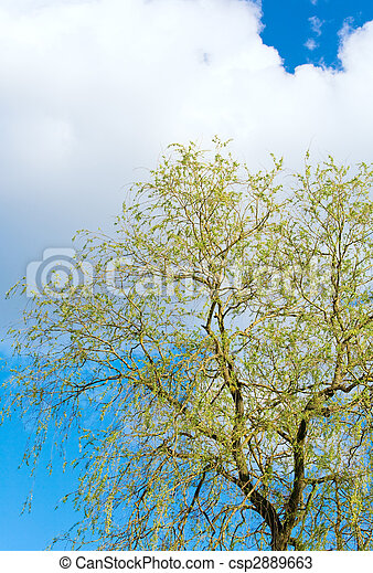 Spring willow tree on sky background - csp2889663