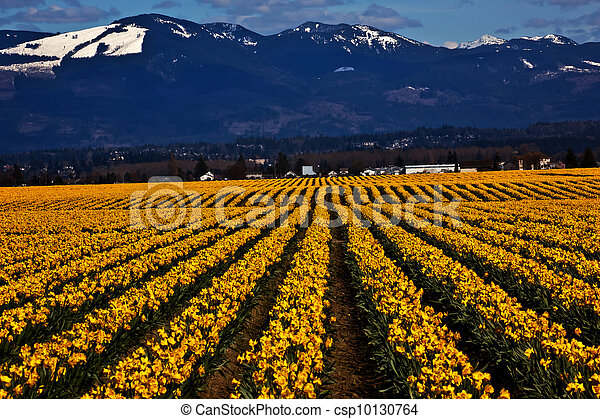 Spring Yellow Daffodil Rows Flowers Snow Mountains Skagit Valley Washington State Pacific Northwest - csp10130764
