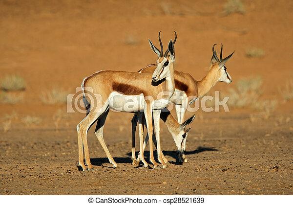 Springbok antelopes - csp28521639