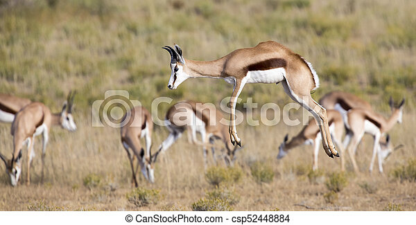 Springbok herd prancing on a plain in the Kgalagadi - csp52448884