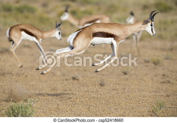 Springbok herd prancing on a plain in the Kgalagadi - csp52418660