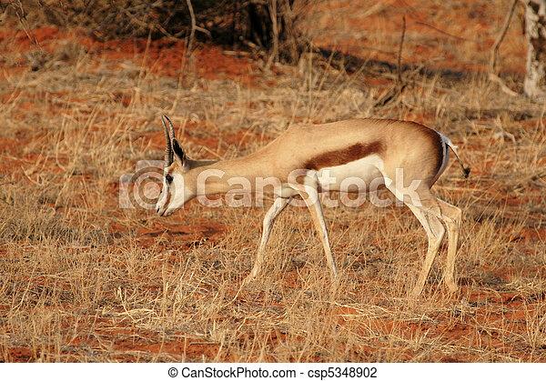 Springbok (Antidorcas marsupialis) en el desierto de Kalahari, Namibia - csp5348902