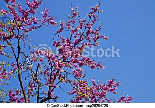 Springtime beautiful bright pink flowers on judas tree cercis springtime beautiful bright pink flowers on judas tree csp29284729 mightylinksfo