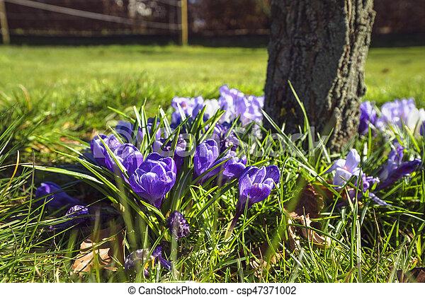Springtime crocus flowers in a garden - csp47371002