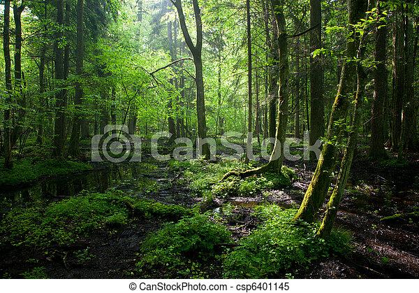springtime, decíduo, levantar, molhados, bialowieza, amanhecer, floresta - csp6401145