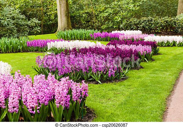 springtime., jacintos, jardín, paisaje - csp20626087
