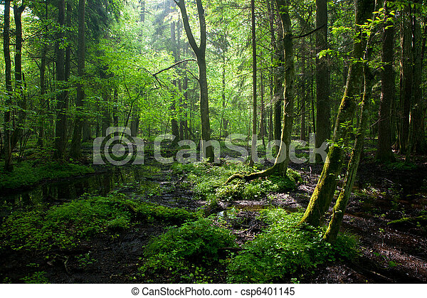 Springtime sunrise in wet deciduous stand of Bialowieza Forest - csp6401145