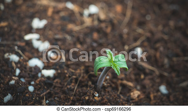 Sprout of marijuana plant growing indoor, close-up. - csp69166296