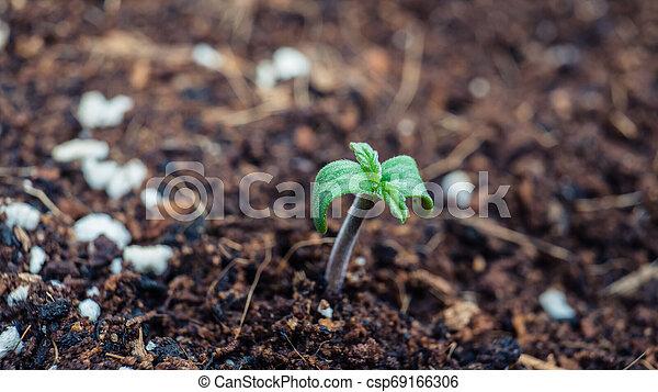 Sprout of marijuana plant growing indoor, close-up. - csp69166306