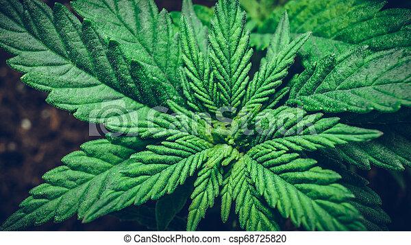 Sprout of medical marijuana plant growing indoor. - csp68725820