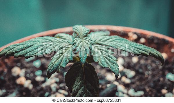 Sprout of medical marijuana plant growing indoor. - csp68725831
