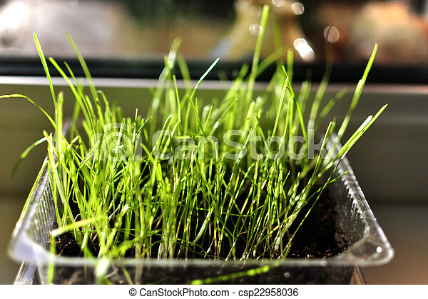 sprouted grass - csp22958036