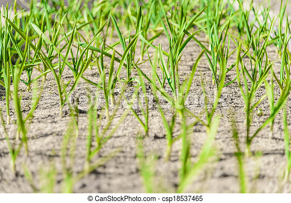 sprouts green onions - csp18537465