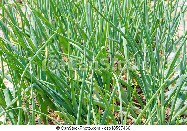 sprouts green onions - csp18537466