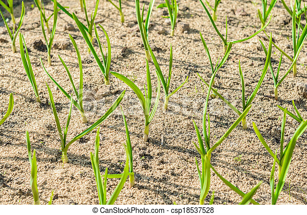 sprouts green onions - csp18537528