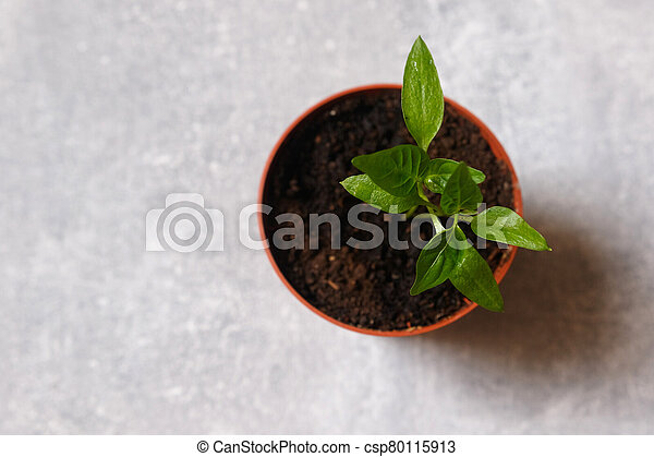 Sprouts of pepper in a pot. - csp80115913