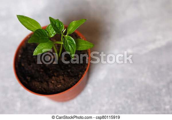Sprouts of pepper in a pot. - csp80115919