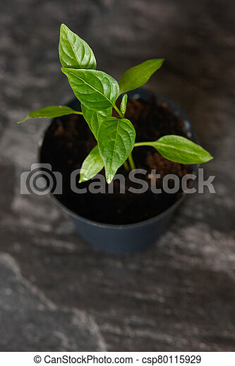 Sprouts of pepper in a pot. - csp80115929