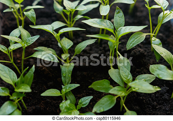 Sprouts of pepper in a pot. - csp80115946