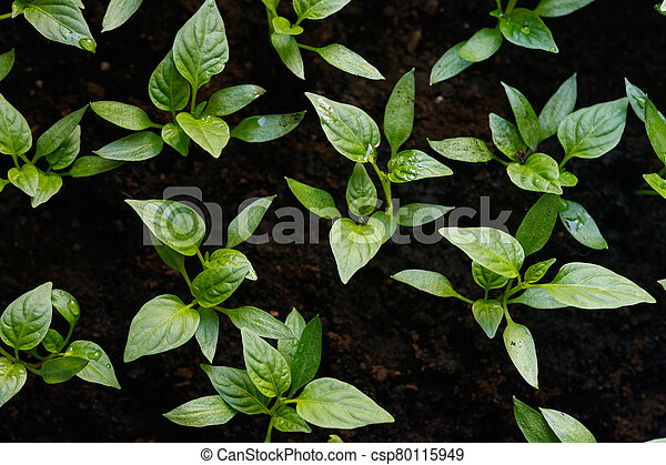 Sprouts of pepper in a pot. - csp80115949