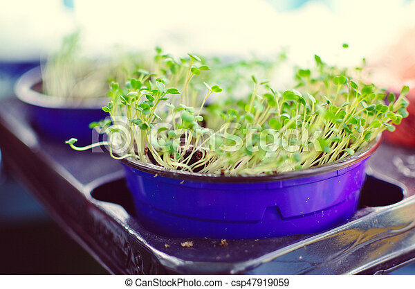 Sprouts of salad in a pot - csp47919059