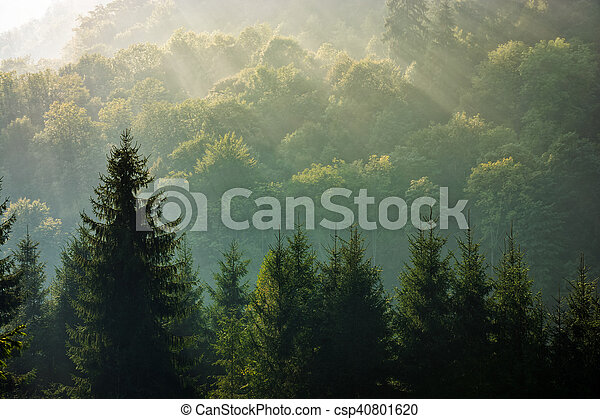 spruce forest on foggy sunrise in mountains - csp40801620